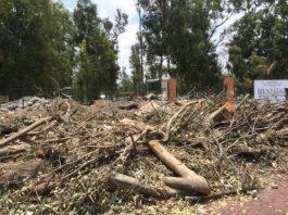 Los troncos de los eucaliptos derrumbados fueron apilados a las afueras del parque