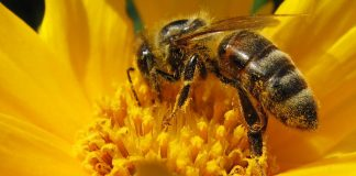 Abejas - Foto por Andreas Creative Commons
