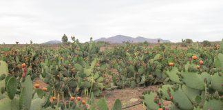 Plantío de nopales, paisaje biocultural