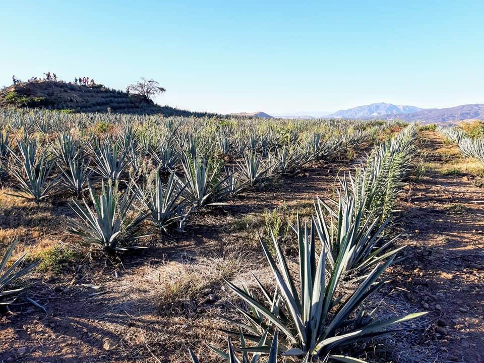 Plantaciones de agave afectan zonas de vestigios arqueológicos en Región valles_1. Fotografía Cortesía